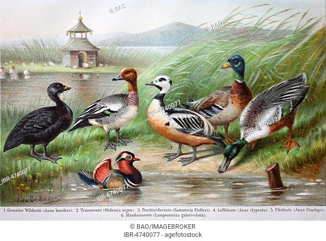 Historical images of ducks, Anas boschas, Oidemia nigra, Somateria Stelleri, Anas clypeata, Anas penelope, Lampronessa galericulata, 1890, Germany