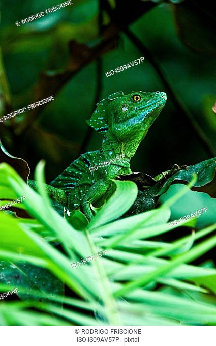 Side view of plumed or double crested basilisk (Basiliscus plumifrons) in rainforest looking away, Costa Rica
