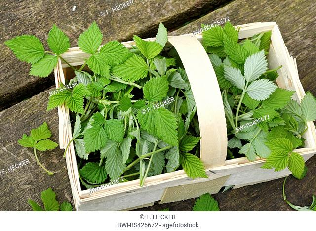 European red raspberry (Rubus idaeus), collected, young raspberry leaves in a little basket