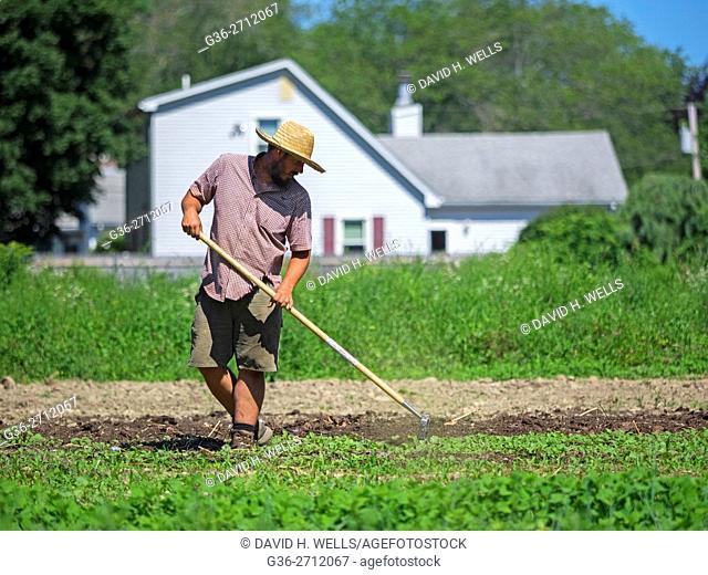 Small-scale farmer hoeing soil on an artisanal organic farm in Johnston, Rhode Island, USA