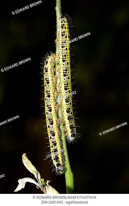 Larva/caterpillar of the Large White - Pieris brassicae, garden pest, England, UK