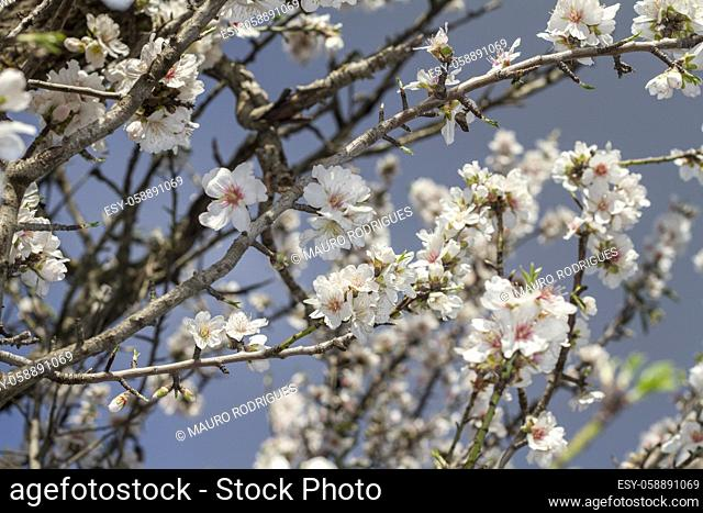 Close view of a branch of almond tree blossom flowers in nature