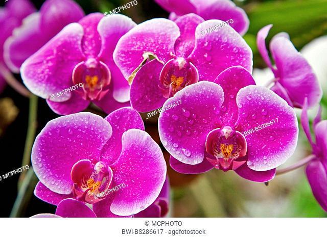 Moth orchid (Phalaenopsis-Hybride), flowers