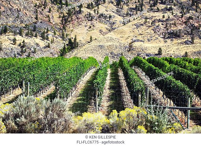 Vineyard in the Okanagan Valley, Osoyoos, British Columbia, Canada