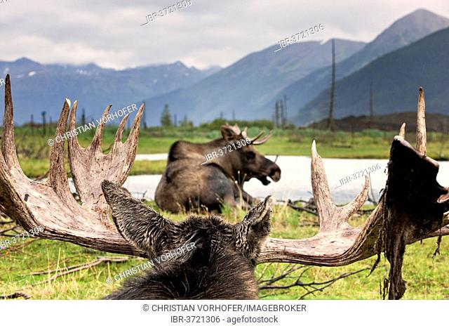 Moose (Alces alces), Alaska Wildlife Conservation Center, Alaska, United States