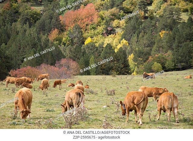Cows landscape Aran valley Beret Spanish pyrenees, Lleida, Catalonia, Spain