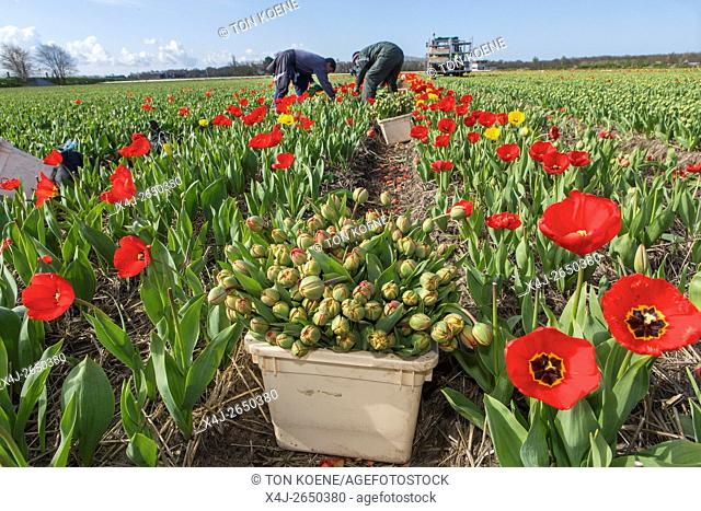Harvesting of tulips by polish workers in the Netherlands. Most tulips are meant for export
