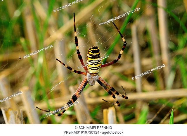 wasp spider, Argiope bruennichi / Wespenspinne, Argiope bruennichi