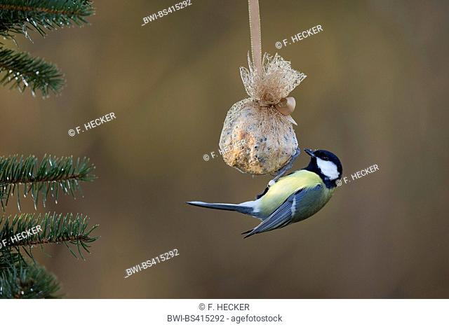 great tit (Parus major), at home made birdfeed in a little sack packaged as a fat ball, Germany