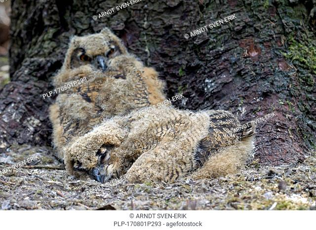 Two Eurasian eagle owl (Bubo bubo) chicks / owlets in exposed nest on the ground at base of pine tree in coniferous forest