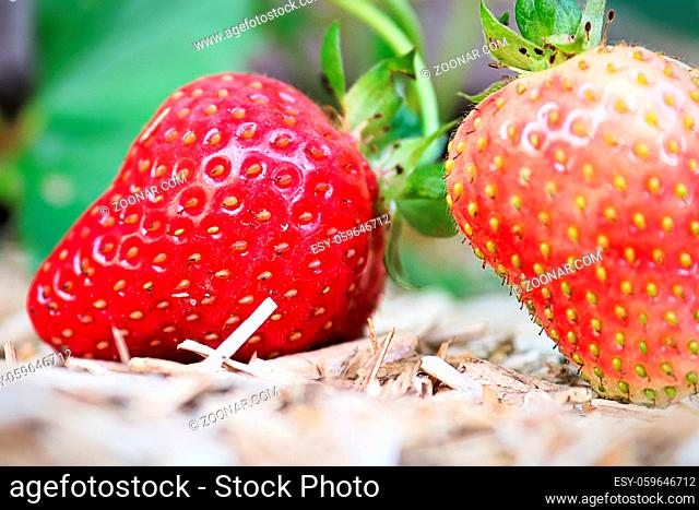 The fine details of a stawberries on yellow mulch