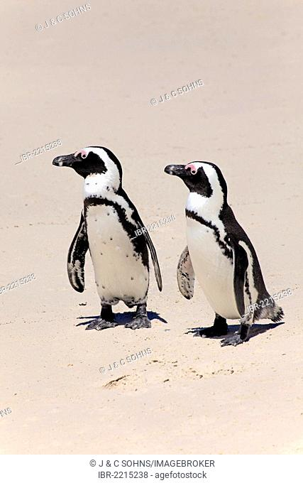 Jackass Penguins, African Penguins or Black-Footed Penguins (Spheniscus demersus), pair on the beach, Boulder, Simon's Town, Western Cape, South Africa, Africa