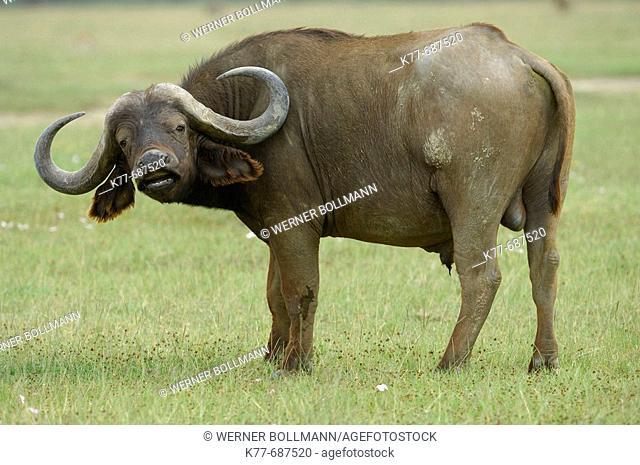 African Buffalo (Syncerus caffer), scenting bull. Lake Nakuru, Kenya