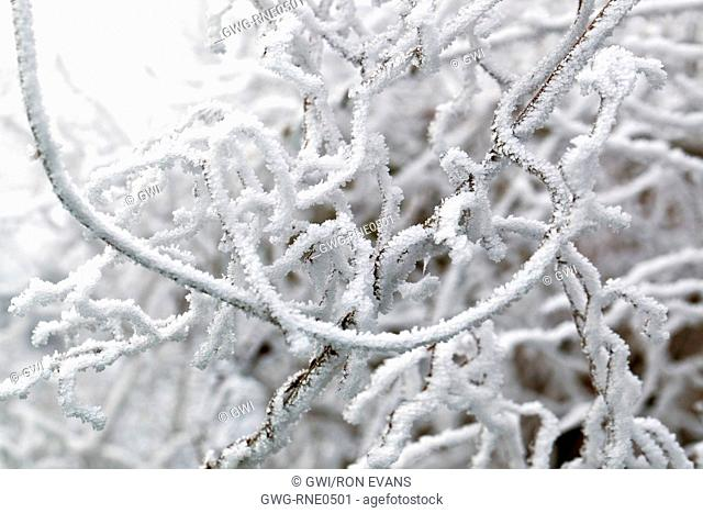 FROSTED SPIRALS OF CLEMATIS STEMS IN WINTER