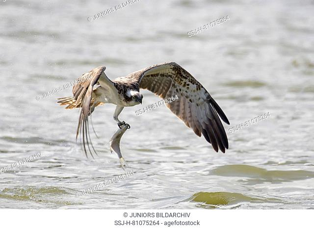 Osprey (Pandion haliaetus) starting from the water with a fish in its talons. Germany