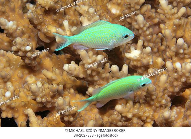 Blue-green Chromis (Chromis viridis), Noonu Atoll, Maldives, Indian Ocean