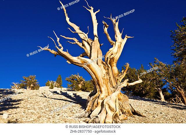 Ancient Bristlecone Pines (Pinus longaeva) in the Patriarch Grove, Ancient Bristlecone Pine Forest, White Mountains, California USA