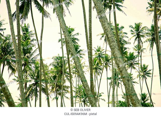 Rows of palm trees, Sri Lanka