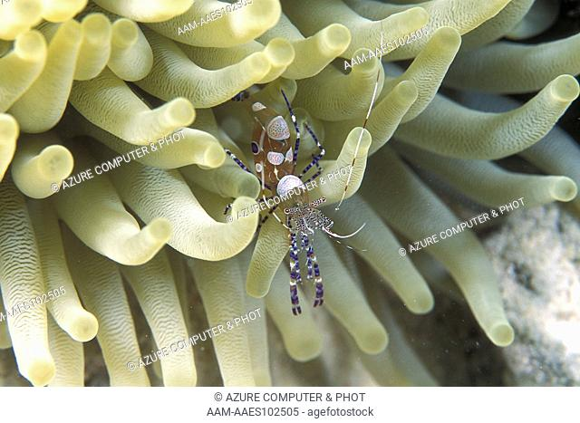 Spotted Cleaning Shrimp (Periclimenes yucatanicus) Bonaire, N.A
