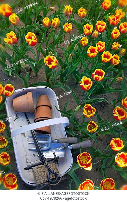Garden trug and tools in Tulips Swaffham Norfolk