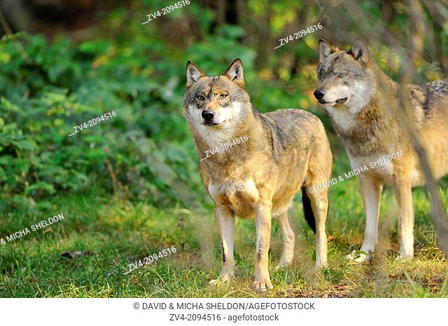 Close-up of two Eurasian wolf (Canis lupus lupus) in the Bavarian Forest, Germany