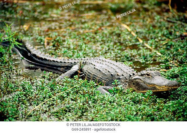 An american alligator (Alligator Mississippiensis). Everglades. Florida. U.S.A