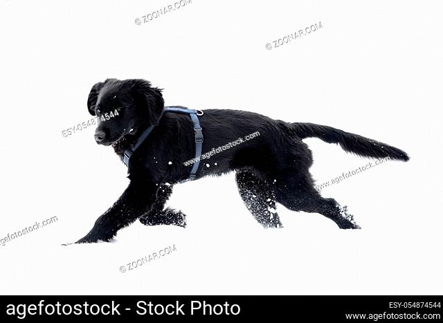A black puppy is playing in the snow