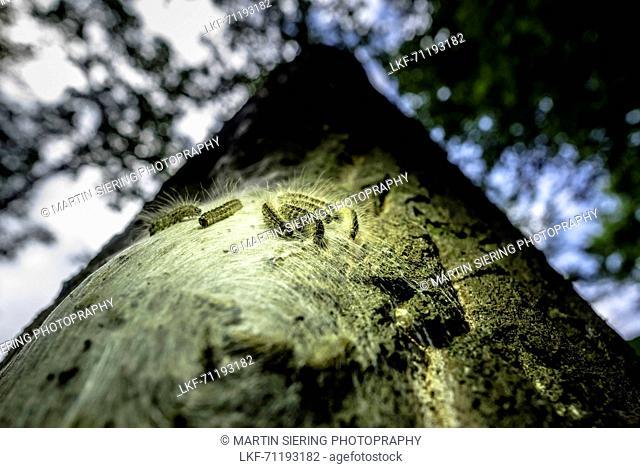 Spreewald Biosphere Reserve, Germany, Recreation Area, Forest, Deciduous Forest, Oak, Beech, Wilderness, Caterpillar, Processionary Moth, Oak Processionary Moth