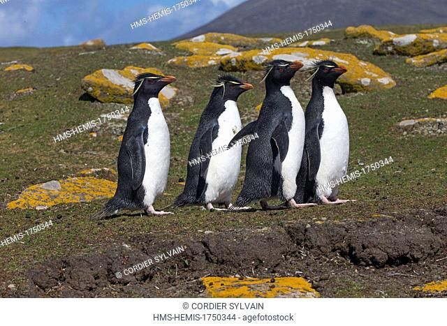 Falkland Islands, Saunders island, Rockery, Rockhopper penguin (Eudyptes chrysocome chrysocome)
