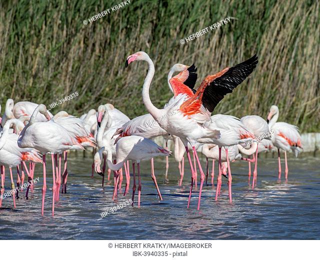 Greater Flamingoes (Phoenicopterus roseus), Camargue, France