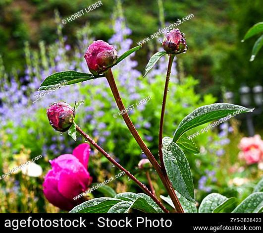 Beautiful peonies bloom with water drops. Botanical Garden, KIT Karlsruhe, Germany, Europe