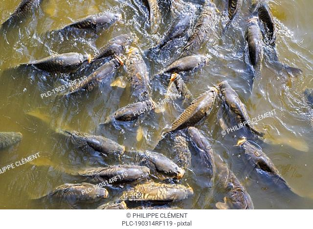 Shoal of common carp / European carps (Cyprinus carpio) coming to surface to breathe air in park pond