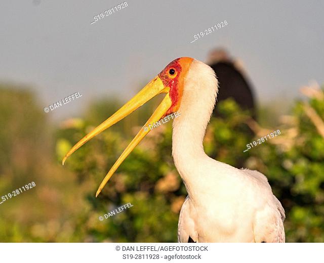 Botswana. Yellow Billed Stork