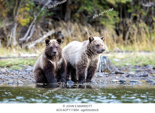 Grizzly bear cubs, Chilcotin, BC, Canada