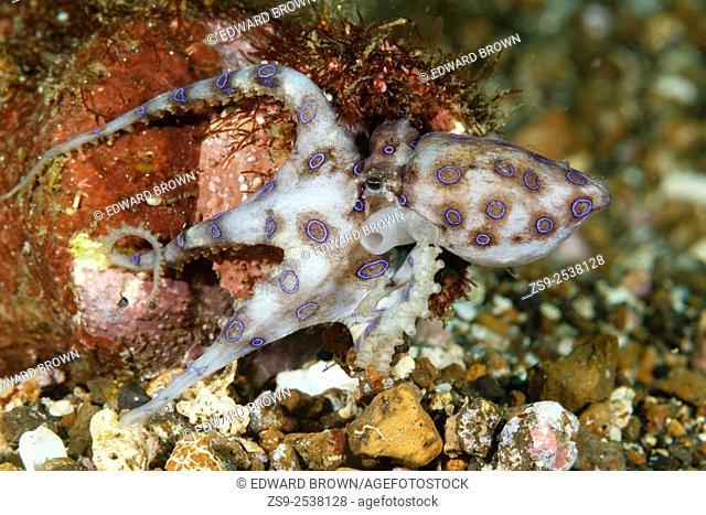 Blue ringed octopus (Hapalochlaena sp) Lembeh Strait, Sulawesi, Indonesia