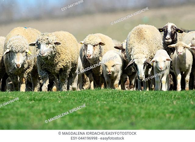 Sheeps and lambs on spring field