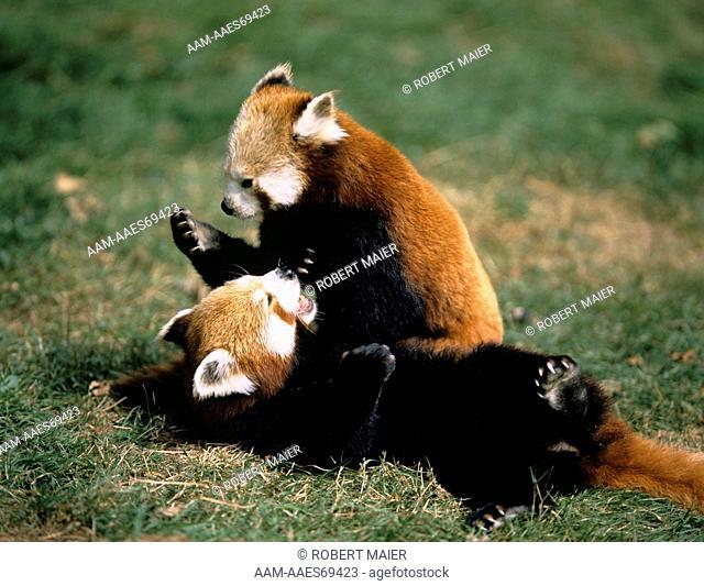 Red Pandas playing (Ailurus fulgrens)