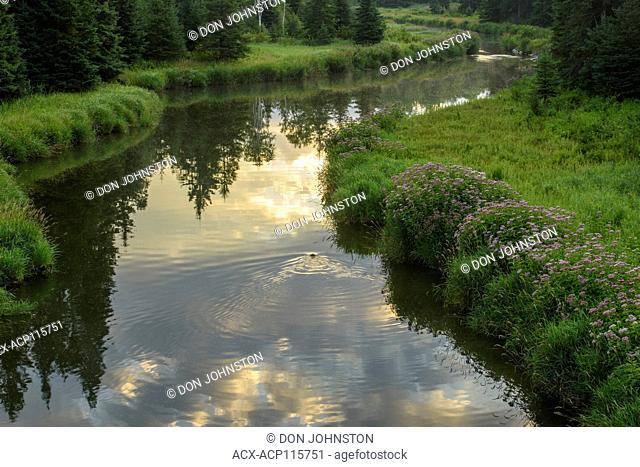 Joe pye weed blooming along the shore of Junction Creek in mid summer, Greater Sudbury, Ontario, Canada