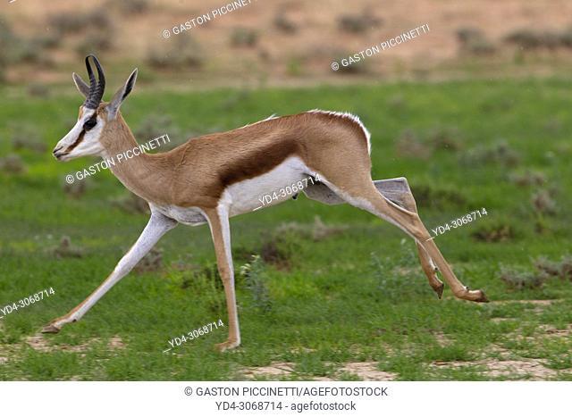 Springbok (Antodorcas marsupialis), Kgalagadi Transfrontier Park in rainy season, Kalhari Desert, South Africa/Botswana