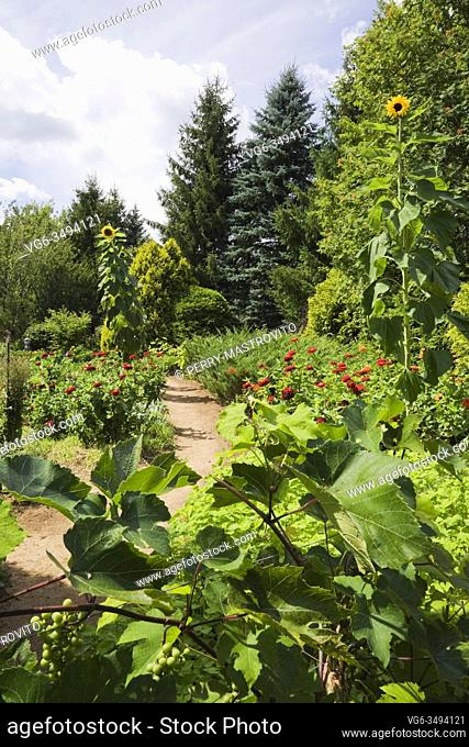 Vitis 'Eona' - Grapevine and brown dirt path through borders with red Zinnias and Helianthus annuus - Sunflowers in backyard garden in summer