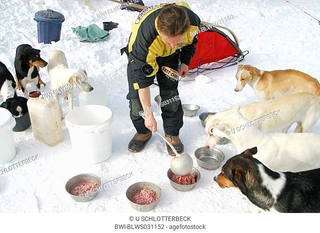 Alaskan Huskie Canis lupus f. familiaris, feeding, Alpentrail 2005, Italy, Suedtirol, Monsanto, Sesto