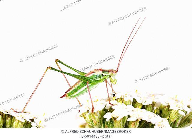 Speckled Bush-Cricket (Leptophyes punctatissima), male
