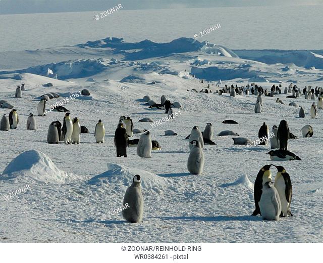 Emperor Penguin, Antarctica