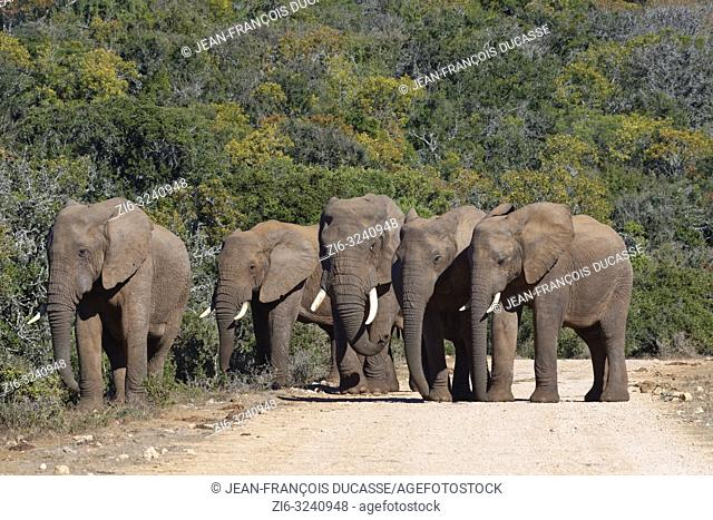African bush elephants (Loxodonta africana), herd, standing on a dirt road, Addo Elephant National Park, Eastern Cape, South Africa, Africa