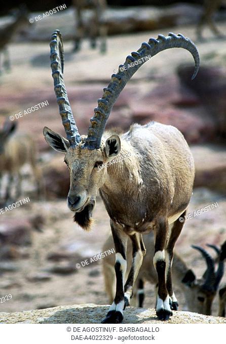 Nubian Ibex (Capra ibex Nubian), Mujib Biosphere Reserve, Jordan