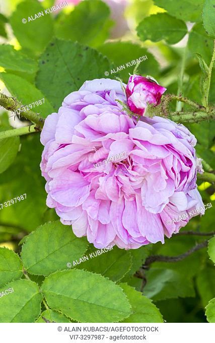 Rosa 'Salet' Breeder : Lacharme (FRA) 1854