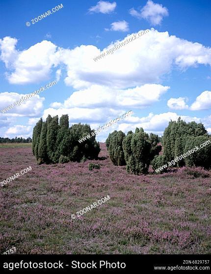 Lueneburger, Heide; bluehende