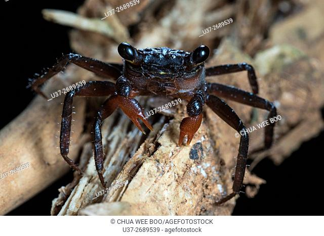 Small Crab. Image taken at Stutong Forest Reserve Park, Kuching, Sarawak, Malaysia