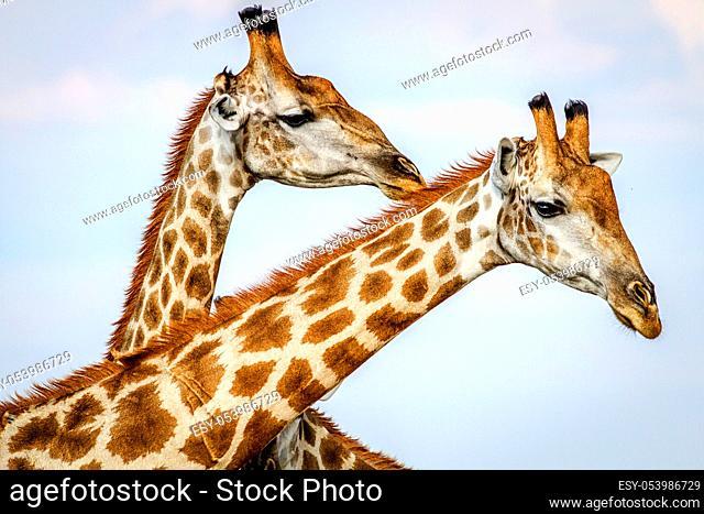 Close up of three Giraffes in the Chobe National Park, Botswana