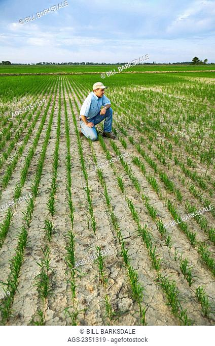 Agriculture - A farmer (grower) kneeling down in his field inspecting the progress of his early growth rice crop / Arkansas, USA